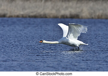 Mute Swan - During takeoff Mute Swan