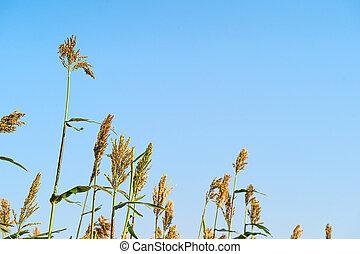 durra, in, fält, av, fodra, för, boskap