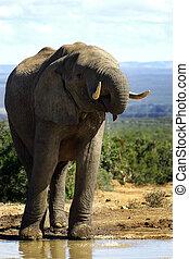durstig, elefant