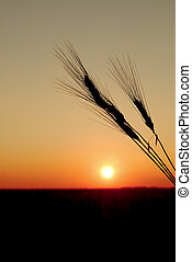 Heads of durum wheat ready for harvest are placed in a silhouette against an orange prairie sunset. The setting sun has left an orange halo of light flare against the horizon line.
