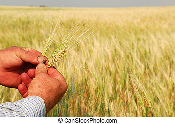 Hard working farmer's hands inspecting heads of Durum Wheat. Focus is on hands and the individual heads, the crop in a golden sea. Note* dirty nails and minor scarring.