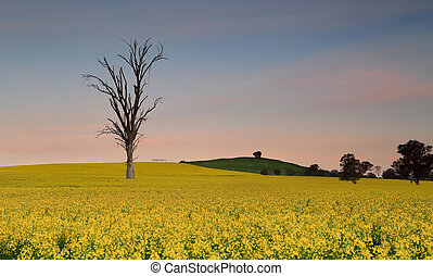 Dusk skies over farmland canola fields