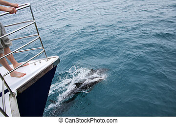 Dusky dolphins swimming near the boat off the coast of Kaikoura, New Zealand
