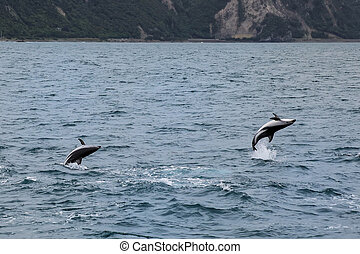 Dusky dolphins swimming off the coast of Kaikoura, New Zealand