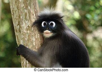 dusky langur - dusky leaf monkey