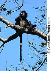 Dusky langur or leaf monkey on the tree.Wildlife in...
