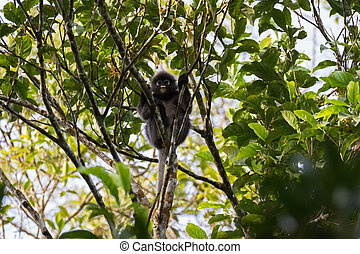 Dusky Leaf Monkey, also called spectacled langur, spectacled leaf monkey, sitting on tree branch in Malaysia, Asia