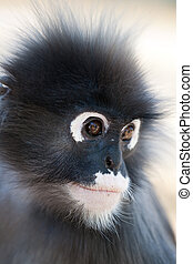 Dusky Leaf Monkey. Ao Manao, Thailand
