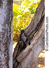 Dusky-Leaf Monkey in Tree - Trachypithecus obscurus....