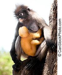 Dusky Leaf Monkey, Langur (Trachypithecus obscurus) with a ...