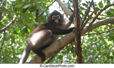 Dusky Leaf Monkey on the tree in Thailand