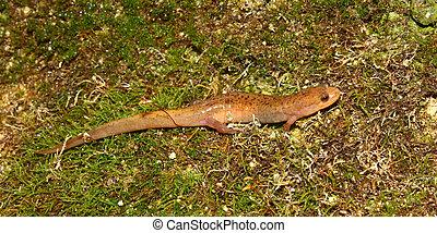 Dusky Salamander (Desmognathus conanti) near Cane Creek in...
