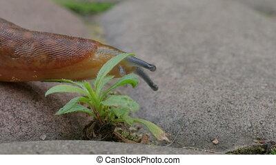 Dusky Slug Goes By - Slug Goes By Focus On Its Body Movement