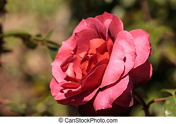 Dusty red rose known as hot cocoa blooms