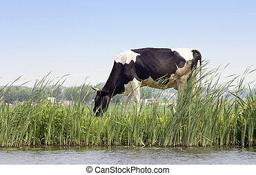 Dutch Cow - A Dutch cow grazing along a chanal on a dyke ...