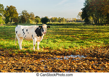 Dutch cow in meadow - Young black and white cow in natural ...