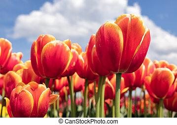 Dutch field orange tulips with white clouds in blue sky