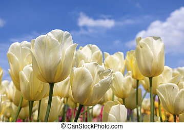 Dutch field yellow tulips with white clouds in blue sky