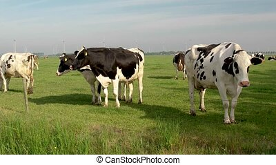 Dutch group of cows outside during sunny Spring weather in the Netherlands Noordoostpolder Flevoland