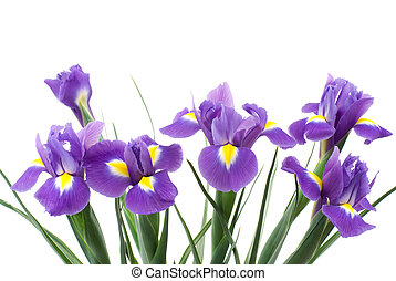 Dutch iris flowers on a white background