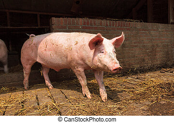 Dutch landrace, domestic pig (Sus scrofa domesticus), on a farm in the Netherlands