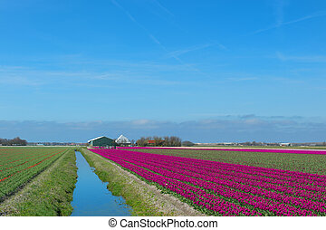 Dutch landscape with red tulips