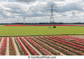 Dutch landscape with tulip show garden and electricity pylons