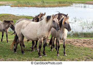 Dutch National Park Oostvaardersplassen with konik horses -...
