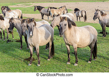 Dutch National Park Oostvaardersplassen with herd of konik...