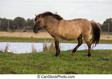 Dutch National Park Oostvaardersplassen with Konik horse...