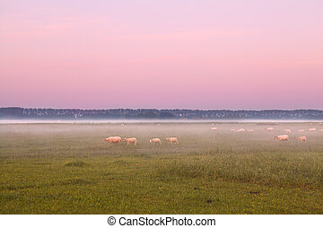 sheep in fog on pasture at sunrise