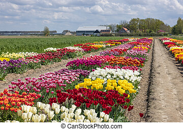 Dutch show garden in Flevoland with flower beds of colorful tulips