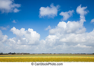 Dutch tulips field scene with blue sky