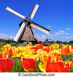 Dutch windmill and tulips - Traditional Dutch windmills with...