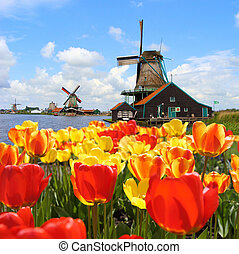Dutch windmills and tulips - Dutch windmills with tulips at...