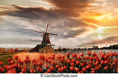 Dutch windmills with red tulips close the Amsterdam, Holland...