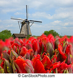 dutch windmills with tulips