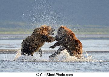 dva, medvěd nudit, bojechtivý, do, namočit