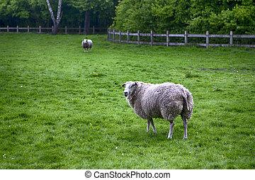 dva, uzrát, sheep, pasturing, dále, mladický drn, outdoors.