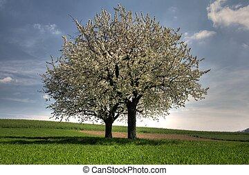 dwa, drzewa, bloosoming