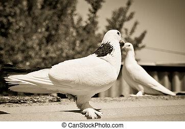 dwa, gołębice