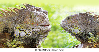 dwa, iguana