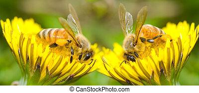 dwa, pszczoły, i, dandeliion, kwiat