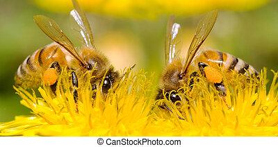 dwa, pszczoły, i, mniszek lekarski, kwiat