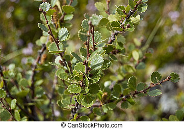 Dwarf Birch (Betula nana) - This species is found mainly in ...