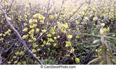 dwarf birch thicket: beautiful birches liliputi among...