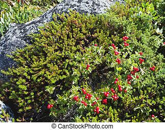 Dwarf cornel with berries