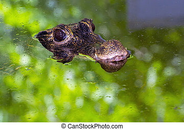 Dwarf crocodile in water - African dwarf crocodile...