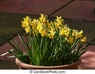 dwarf daffodils - mini narcissis growing in a tub