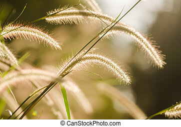 Dwarf Foxtail Grass or Pennisetum alopecuroides weed plants...